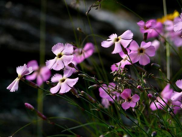 Woodland Pink (Dianthus Sylvestris) https://www.sagebud.com/woodland-pink-dianthus-sylvestris/