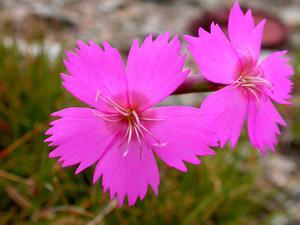 Woodland Pink