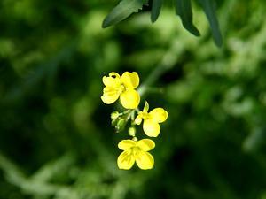 Perennial Wallrocket