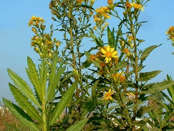 False Yellowhead (Dittrichia Viscosa) https://www.sagebud.com/false-yellowhead-dittrichia-viscosa