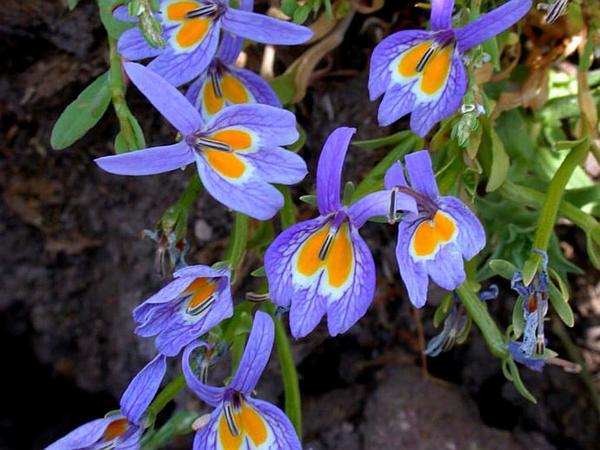 Bach's Calicoflower (Downingia Bacigalupii) https://www.sagebud.com/bachs-calicoflower-downingia-bacigalupii