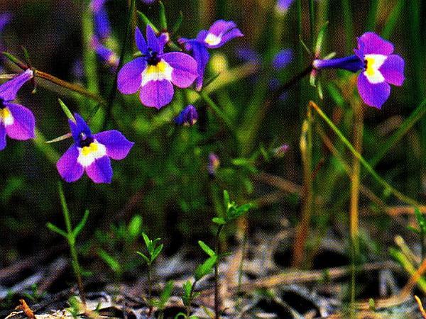 Doublehorn Calicoflower (Downingia Bicornuta) https://www.sagebud.com/doublehorn-calicoflower-downingia-bicornuta