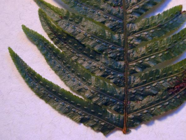 Kunth's Hacksaw Fern (Doodia Kunthiana) https://www.sagebud.com/kunths-hacksaw-fern-doodia-kunthiana
