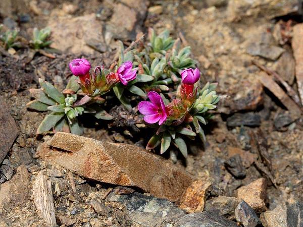 Snow Dwarf-Primrose (Douglasia Nivalis) https://www.sagebud.com/snow-dwarf-primrose-douglasia-nivalis