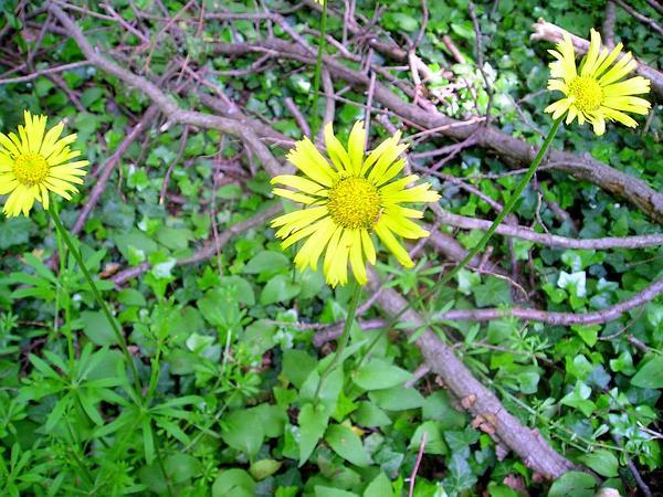 Plantain False Leopardbane (Doronicum Plantagineum) https://www.sagebud.com/plantain-false-leopardbane-doronicum-plantagineum