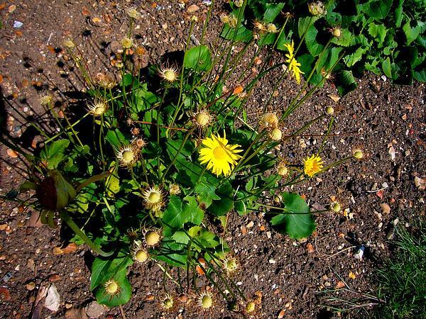 False Leopardbane (Doronicum) https://www.sagebud.com/false-leopardbane-doronicum