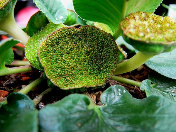 Dorstenia (Dorstenia) https://www.sagebud.com/dorstenia-dorstenia