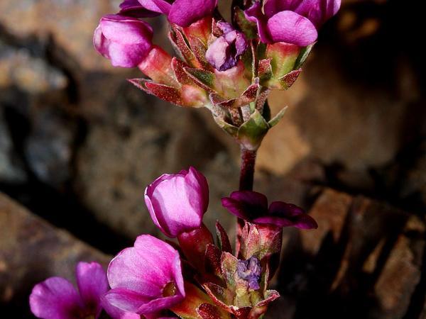 Dwarf-Primrose (Douglasia) https://www.sagebud.com/dwarf-primrose-douglasia