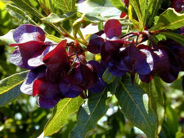 Florida Hopbush (Dodonaea Viscosa) https://www.sagebud.com/florida-hopbush-dodonaea-viscosa