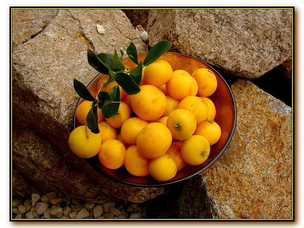 Ceylon Gooseberry (Dovyalis) https://www.sagebud.com/ceylon-gooseberry-dovyalis
