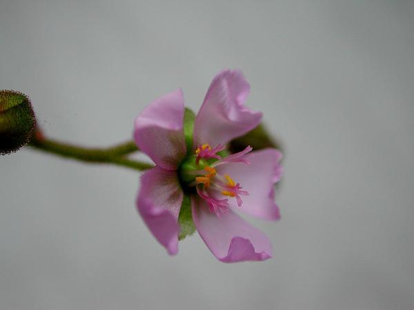 Australian Sundew (Drosera Aliciae) https://www.sagebud.com/australian-sundew-drosera-aliciae/