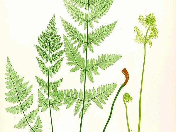 Spinulose Woodfern (Dryopteris Carthusiana) https://www.sagebud.com/spinulose-woodfern-dryopteris-carthusiana
