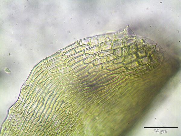 Drepanocladus Moss (Drepanocladus) https://www.sagebud.com/drepanocladus-moss-drepanocladus