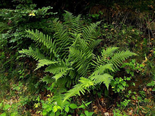 Male Fern (Dryopteris Filix-Mas) https://www.sagebud.com/male-fern-dryopteris-filix-mas