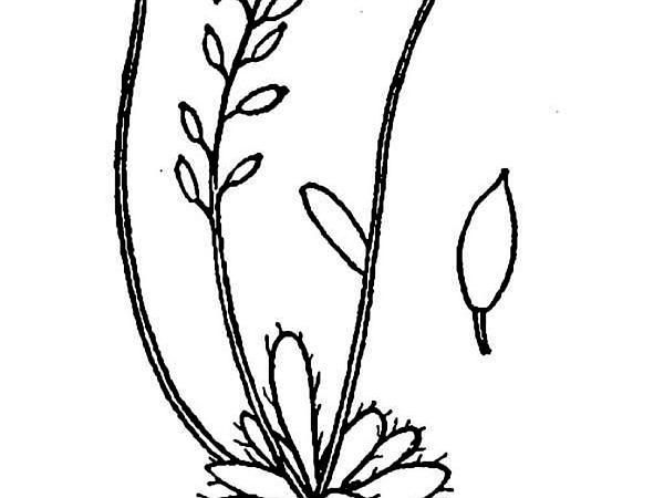 Austrian Draba (Draba Fladnizensis) https://www.sagebud.com/austrian-draba-draba-fladnizensis