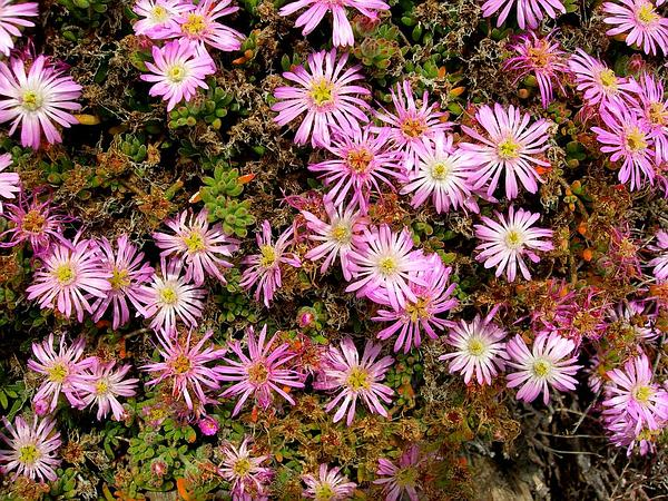 Showy Dewflower (Drosanthemum Floribundum) https://www.sagebud.com/showy-dewflower-drosanthemum-floribundum