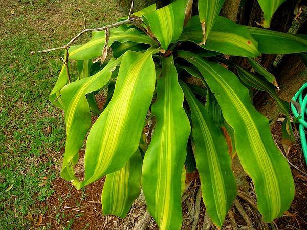 Fragrant Dracaena (Dracaena Fragrans) https://www.sagebud.com/fragrant-dracaena-dracaena-fragrans