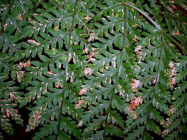 Kilaw (Dryopteris Glabra) https://www.sagebud.com/kilaw-dryopteris-glabra/
