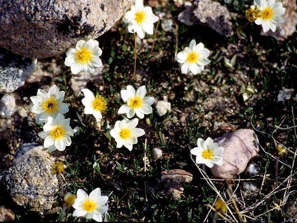 Entireleaf Mountain-Avens (Dryas Integrifolia) https://www.sagebud.com/entireleaf-mountain-avens-dryas-integrifolia/
