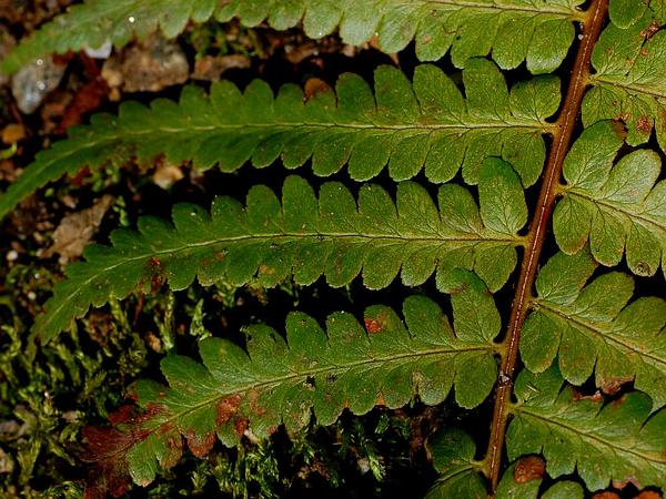 Southern Woodfern (Dryopteris Ludoviciana) https://www.sagebud.com/southern-woodfern-dryopteris-ludoviciana