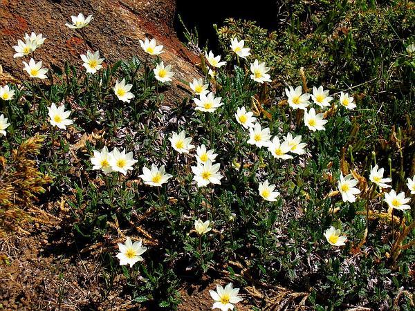 Eightpetal Mountain-Avens (Dryas Octopetala) https://www.sagebud.com/eightpetal-mountain-avens-dryas-octopetala