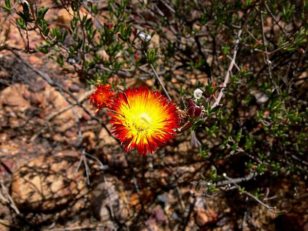Dewflower (Drosanthemum) https://www.sagebud.com/dewflower-drosanthemum