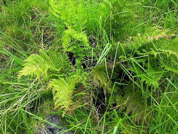 Pacific Woodfern (Dryopteris Sandwicensis) https://www.sagebud.com/pacific-woodfern-dryopteris-sandwicensis