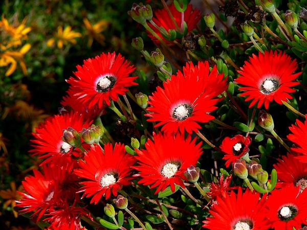 Royal Dewflower (Drosanthemum Speciosum) https://www.sagebud.com/royal-dewflower-drosanthemum-speciosum/