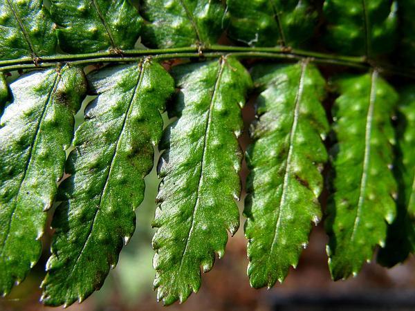 Woodfern (Dryopteris) https://www.sagebud.com/woodfern-dryopteris
