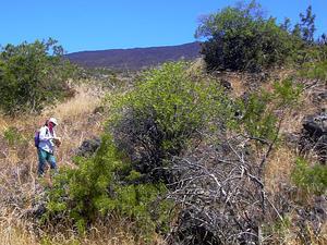 Mauna Kea Dubautia