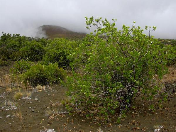 Mauna Kea Dubautia (Dubautia Arborea) https://www.sagebud.com/mauna-kea-dubautia-dubautia-arborea