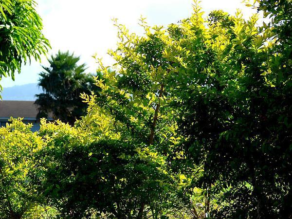 Golden Dewdrops (Duranta Erecta) https://www.sagebud.com/golden-dewdrops-duranta-erecta/