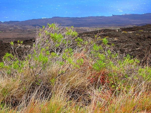 Shrubland Dubautia (Dubautia Linearis) https://www.sagebud.com/shrubland-dubautia-dubautia-linearis