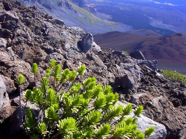 Mountain Dubautia (Dubautia Menziesii) https://www.sagebud.com/mountain-dubautia-dubautia-menziesii/
