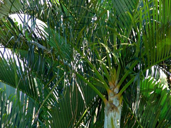 Yellow Butterfly Palm (Dypsis Lutescens) https://www.sagebud.com/yellow-butterfly-palm-dypsis-lutescens
