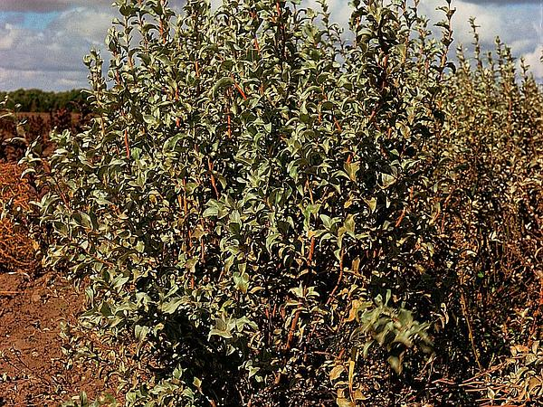 Silverberry (Elaeagnus Commutata) https://www.sagebud.com/silverberry-elaeagnus-commutata