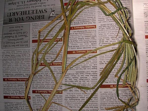 Indian Goosegrass (Eleusine Indica) https://www.sagebud.com/indian-goosegrass-eleusine-indica/