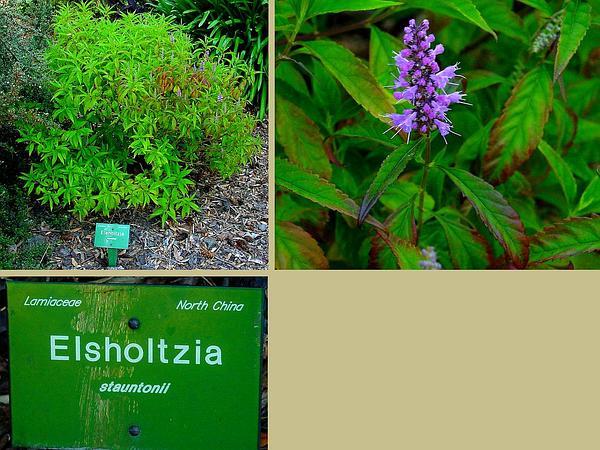 Elsholtzia (Elsholtzia) https://www.sagebud.com/elsholtzia-elsholtzia/