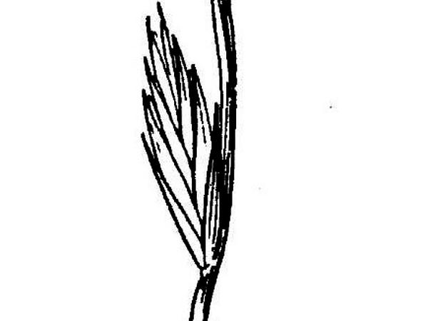 Wildrye (Elymus) https://www.sagebud.com/wildrye-elymus/