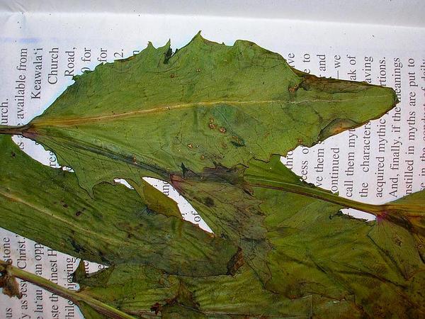Florida Tasselflower (Emilia Fosbergii) https://www.sagebud.com/florida-tasselflower-emilia-fosbergii