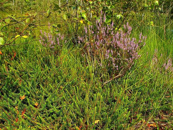 Black Crowberry (Empetrum Nigrum) https://www.sagebud.com/black-crowberry-empetrum-nigrum