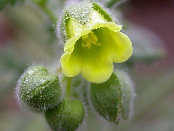 Whisperingbells (Emmenanthe Penduliflora) https://www.sagebud.com/whisperingbells-emmenanthe-penduliflora/