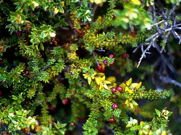Crowberry (Empetrum) https://www.sagebud.com/crowberry-empetrum