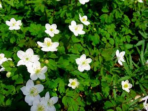 Eastern False Rue Anemone