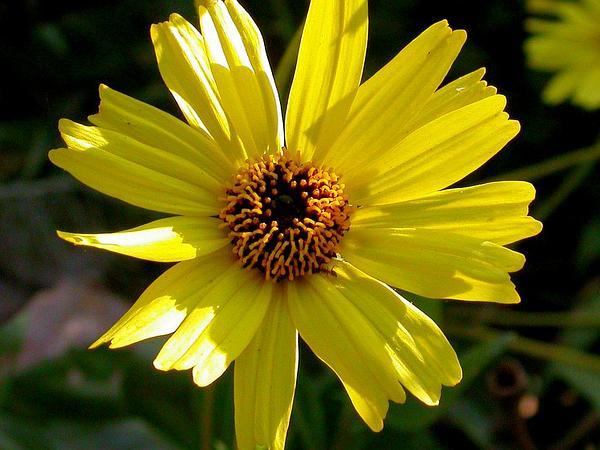 California Brittlebush (Encelia Californica) https://www.sagebud.com/california-brittlebush-encelia-californica/