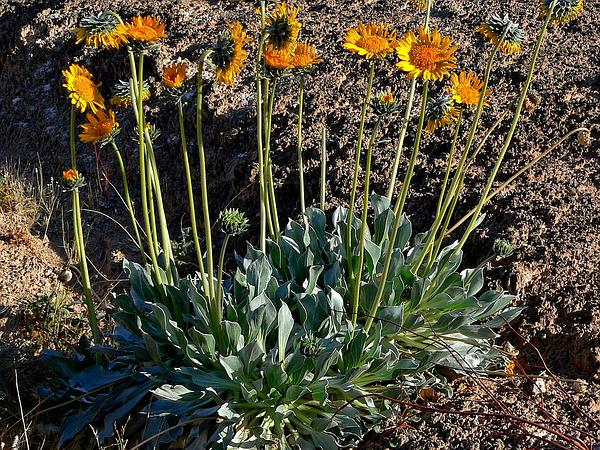 Sunray (Enceliopsis) https://www.sagebud.com/sunray-enceliopsis