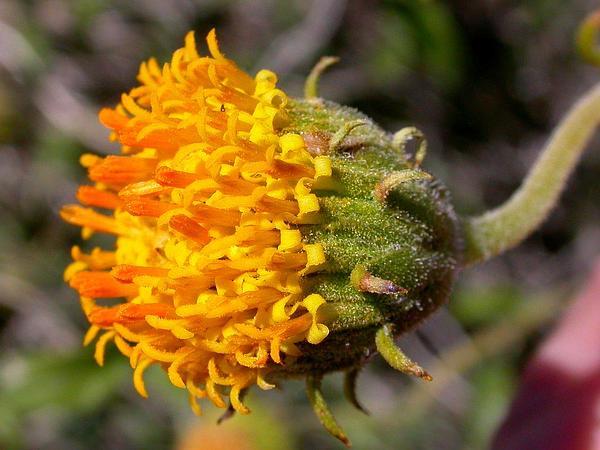 Button Brittlebush (Encelia Frutescens) https://www.sagebud.com/button-brittlebush-encelia-frutescens