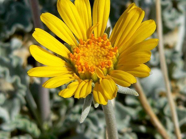 Nakedstem Sunray (Enceliopsis Nudicaulis) https://www.sagebud.com/nakedstem-sunray-enceliopsis-nudicaulis