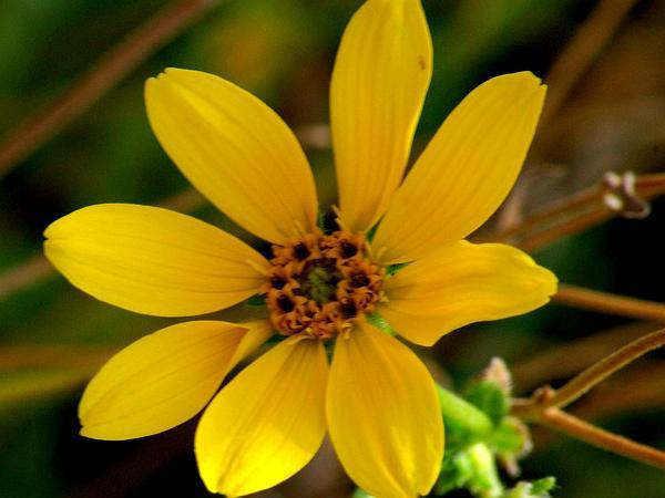 Engelmann's Daisy (Engelmannia Peristenia) https://www.sagebud.com/engelmanns-daisy-engelmannia-peristenia/