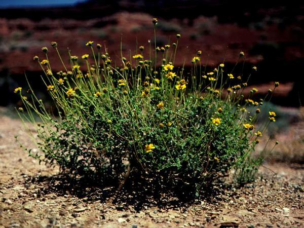 Sticky Brittlebush (Encelia Resinifera) https://www.sagebud.com/sticky-brittlebush-encelia-resinifera/